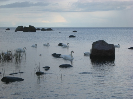 swans by a baltic shore at käsmu